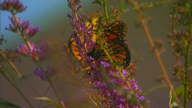 hannibal, missouributterflies - tierische nase stock-videos und b-roll-filmmaterial