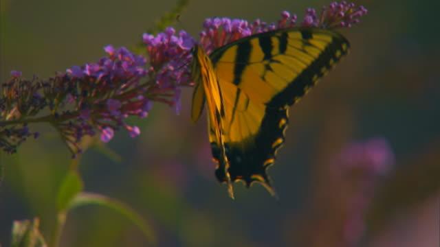 hannibal, missouributterfly - tierische nase stock-videos und b-roll-filmmaterial