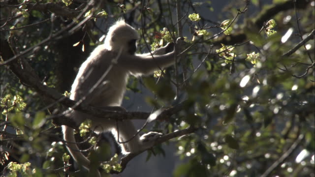 hanuman langur eats leaves, kedarnath, india available in hd. - apparato digerente animale video stock e b–roll