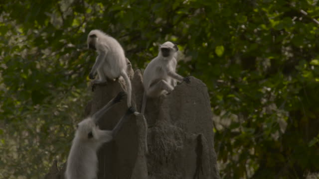 hanuman langur pulls another off of termite mound, india. - tree stock videos & royalty-free footage