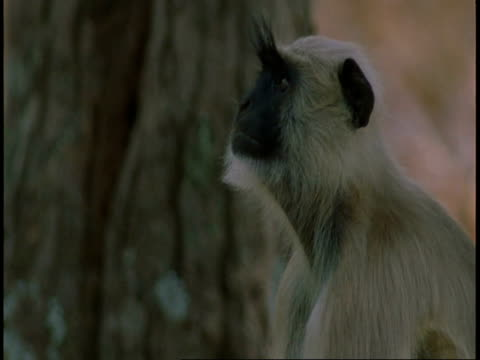 cu hanuman langur, semnopithecus entellus, at bottom of tree trunk, bandhavgarh national park, india - national icon stock videos & royalty-free footage