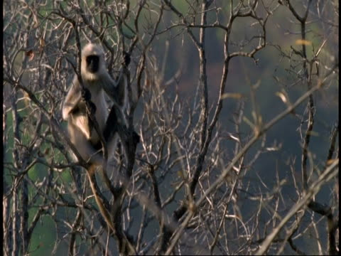 MS Hanuman Langur, Semnopithecus entellus, clinging to swaying tree branch, Bandhavgarh National Park, India