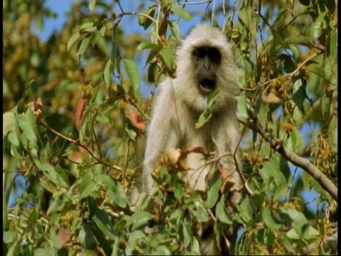 ms hanuman langur, semnopithecus entellus, eating fruit in tree, looks to camera, bandhavgarh national park, india - national icon stock videos & royalty-free footage