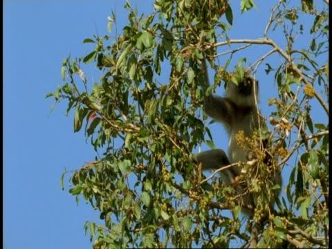 ms hanuman langur, semnopithecus entellus, eating fruit in tree, bandhavgarh national park, india - national icon stock videos & royalty-free footage
