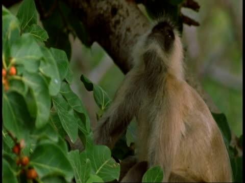 cu hanuman langur, semnopithecus entellus, in tree eating fruit, bandhavgarh national park, india - national icon stock videos & royalty-free footage