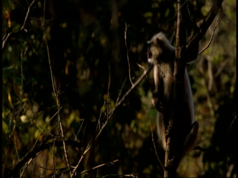 ms hanuman langur, semnopithecus entellus, in tree, looking to camera, bandhavgarh national park, india - national icon stock videos & royalty-free footage