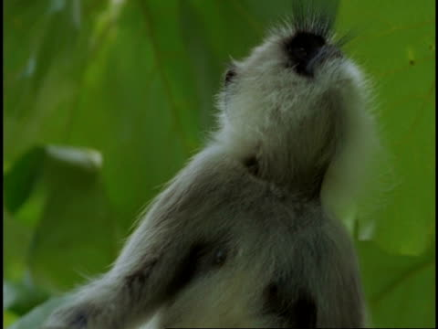 CU Hanuman Langur, Semnopithecus entellus, looking around, leaping out of frame, Western Ghats, India