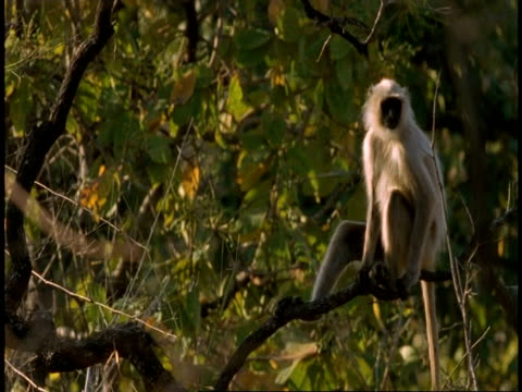 ms hanuman langur, semnopithecus entellus, moving through tree, sitting on tree branch, bandhavgarh national park, india - national icon stock videos & royalty-free footage