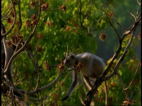ms hanuman langur, semnopithecus entellus, moving through trees, bandhavgarh national park, india - national icon stock videos & royalty-free footage