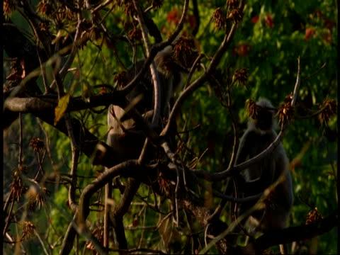 ms hanuman langur, semnopithecus entellus, pair of langurs in tree, bandhavgarh national park, india - national icon stock videos & royalty-free footage