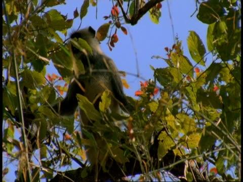 ms hanuman langur, semnopithecus entellus, sitting on tree branch, bandhavgarh national park, india - national icon stock videos & royalty-free footage