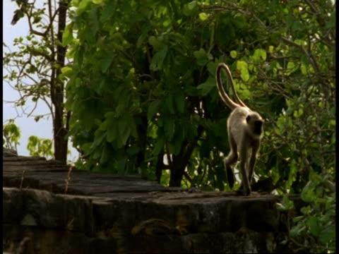 ms hanuman langur, semnopithecus entellus, walking on hindu temple ruins, bandhavgarh national park, india - national icon stock videos & royalty-free footage