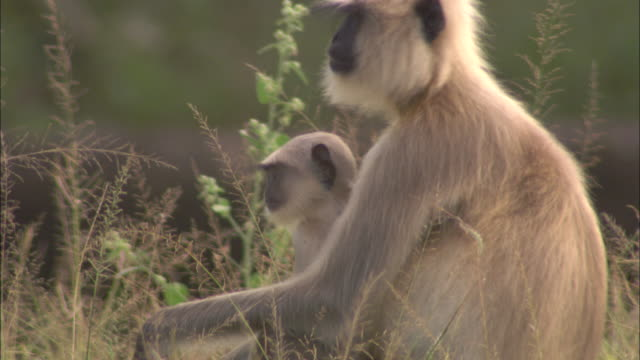 a hanuman langur sits with its baby in grassland in pench national park, india. - national grassland stock videos & royalty-free footage