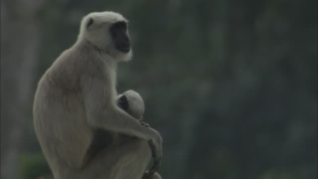 Hanuman langur with baby, Chilla sanctuary, India Available in HD.
