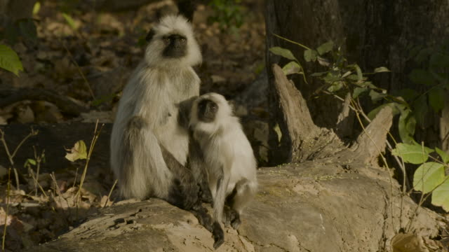 hanuman langurs play in forest, india. - asia stock videos & royalty-free footage
