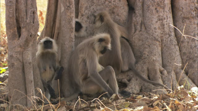 hanuman langurs rest at the base of a tree. - 擬態点の映像素材/bロール
