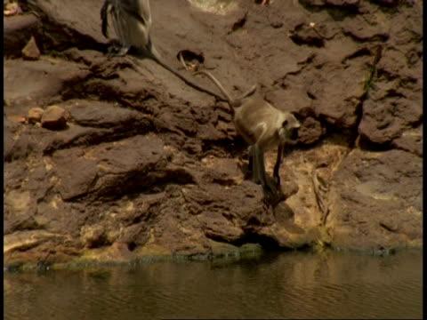 ms hanuman langurs, semnopithecus entellus, drinking from lake, bandhavgarh national park, india - national icon stock videos & royalty-free footage
