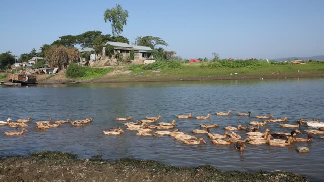 haor is prominent asian wetland rich in biodiversity different of rural lifestyle are seen in haor fishing cattle cultivation are main livelihood... - aquatisches lebewesen stock-videos und b-roll-filmmaterial