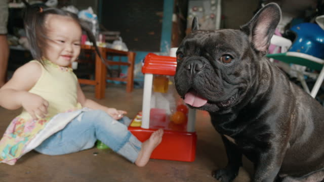 a happy asian little beautiful girl enjoy playing toy with french bulldog on the floor , 2 year old. concept of happiness ,energy, playful. - french bulldog stock videos and b-roll footage