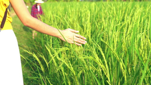 happy asian women walking and hand tenderly touching jasmine rice in green rice field. countryside of thailand at sunset. - rice paddy stock videos & royalty-free footage