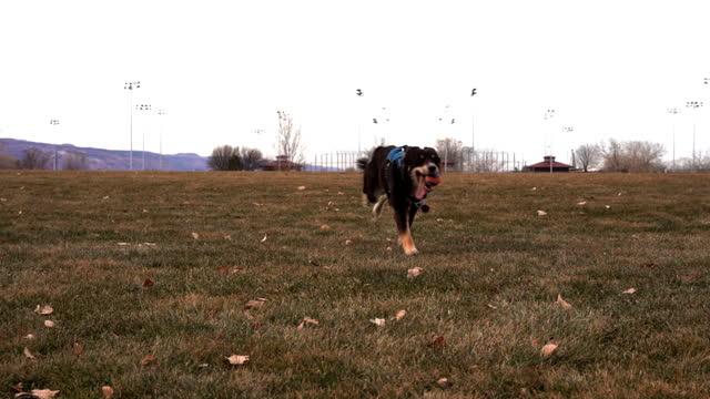 happy australian shepherd puppy running in the park - sheepdog stock videos & royalty-free footage