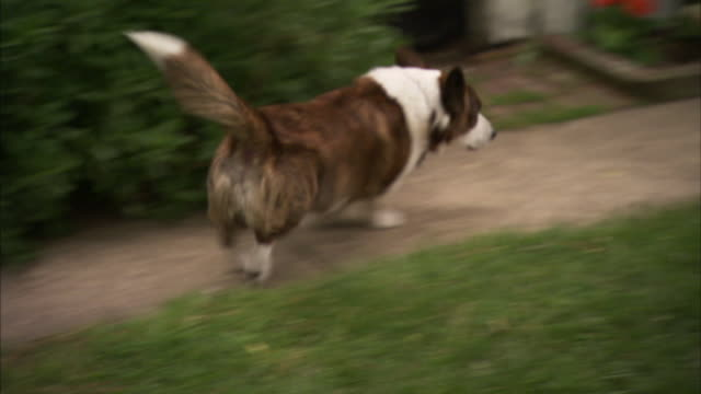 a happy cardigan welsh corgi plays in its yard. - tail stock videos & royalty-free footage