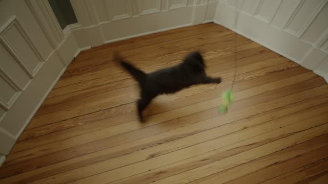 glückliche katzen-jumping um in eine breite schuss spielen - klaue stock-videos und b-roll-filmmaterial