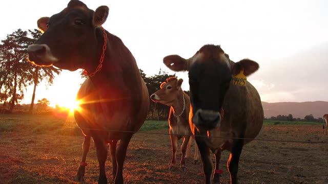 happy cattle outdoors at sunset. - latin america stock videos & royalty-free footage