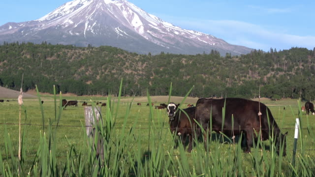 happy cows - grass fed stock videos & royalty-free footage