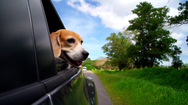 happy dog in car - beagle stock videos & royalty-free footage