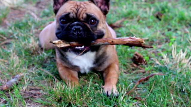 glücklicher hund spielen auf rasen - schrägansicht stock-videos und b-roll-filmmaterial