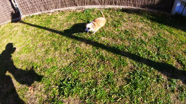 Happy dog playing running free in backyard home recorded in slow motion from action camera in owner personal perspective with fun moments.