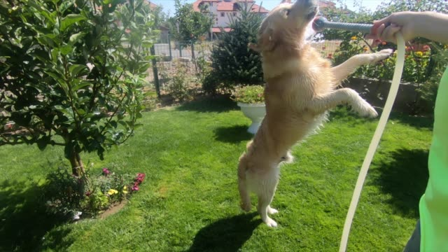 happy dog playing with water in backyard. - hose stock videos & royalty-free footage