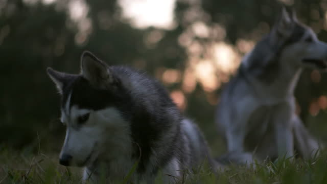happy dog relaxing on the lawn - siberian husky stock videos & royalty-free footage