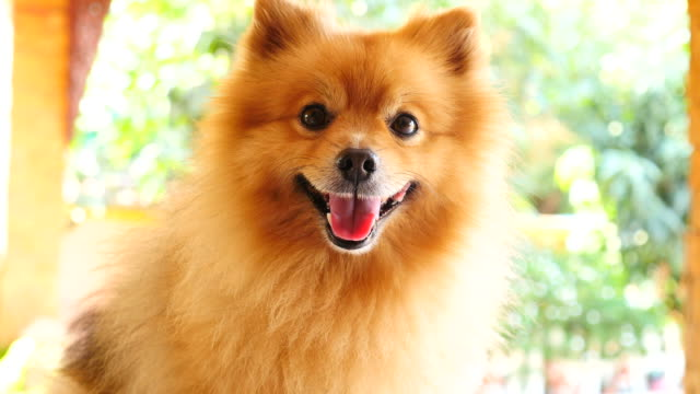 happy face pomeranian dog - full hd format stock videos & royalty-free footage