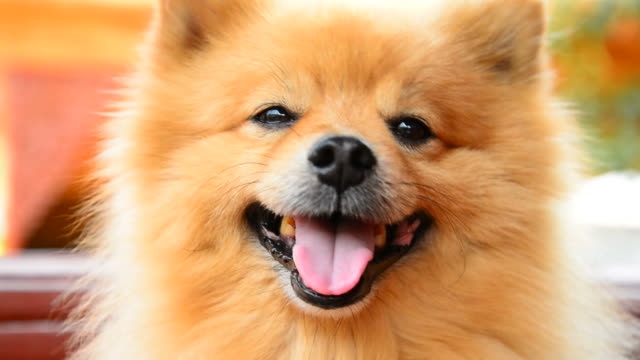 happy face pomeranian dog - hd 25 fps stock videos & royalty-free footage