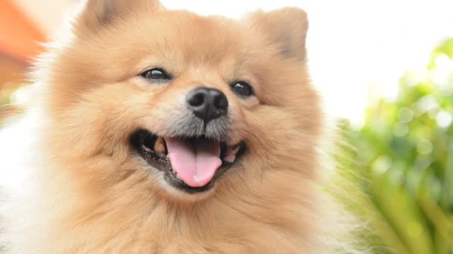 vídeos y material grabado en eventos de stock de rostro feliz pomeranio perro - oreja animal