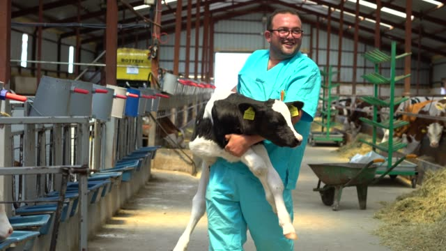 happy farmer carrying newborn calf - calf stock videos & royalty-free footage