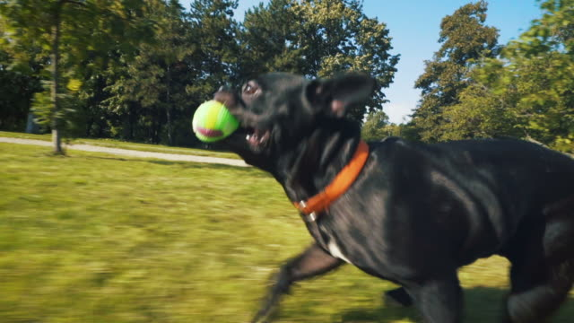 happy french bulldog running in park. - pure bred dog stock videos and b-roll footage