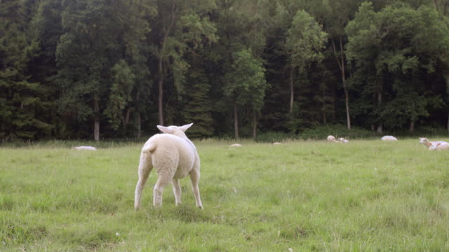 happy grazing sheep - grazing stock videos & royalty-free footage