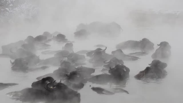 happy herd of water buffaloes in eastern turkey spends some of their time during the winter months bathing in geothermal hot spring in sub-zero... - アフリカンバッファロー点の映像素材/bロール