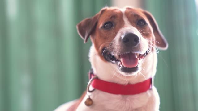 vídeos de stock, filmes e b-roll de cão alegre e brincalhão feliz de jack russell que relaxa e que descansa no jardim dos gress no parque ao ar livre e fora em férias de férias do verão - latindo
