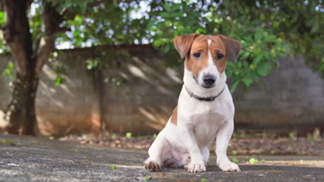 vídeos y material grabado en eventos de stock de feliz alegre y juguetón jack russell perro relajante y descansando en el jardín de gress en el parque al aire libre y fuera en las vacaciones de verano - terrier