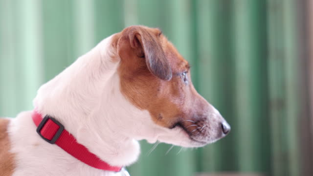 happy joyful and playful jack russell dog relaxing and resting - jack russell terrier stock videos & royalty-free footage