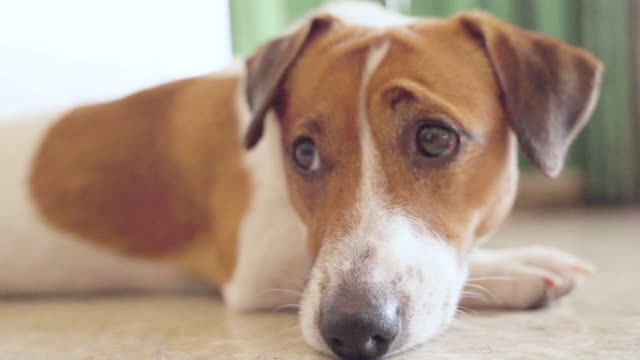 happy joyful and playful jack russell dog relaxing and resting - bark stock videos & royalty-free footage