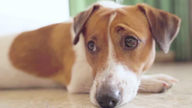glücklich fröhliche und verspielte jack russell hund entspannend und ruhend - niedlich stock-videos und b-roll-filmmaterial