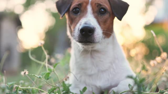 vídeos y material grabado en eventos de stock de feliz alegre y juguetón jack russell perro relajándose al aire libre en verano - terrier