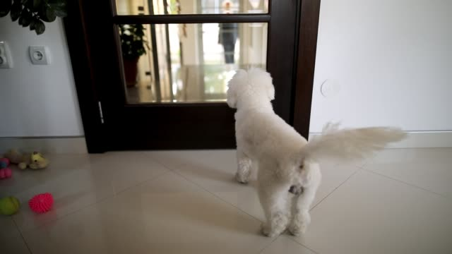 vídeos y material grabado en eventos de stock de feliz perro maltés saltando de alegría frente a las puertas mientras espera a los huéspedes - esperar