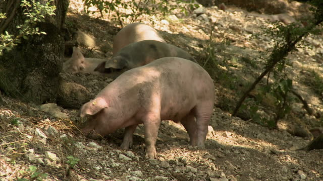 maiali felici - pig stock videos & royalty-free footage