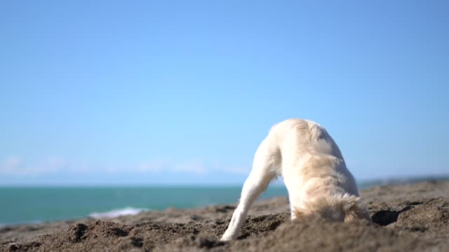 glücklicher welpenhund digging in sand - searching stock-videos und b-roll-filmmaterial